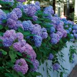 Big Leaf Hydrangeas and the Mysterious Blooms